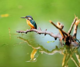 Kingfisher on the dead branch of the lake Stock Photo
