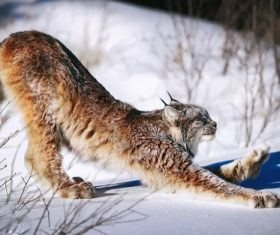Lynx stretching on the snow Stock Photo