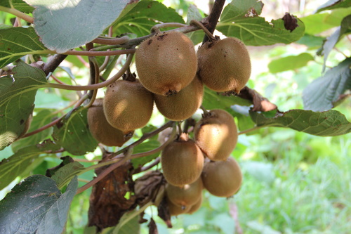 Mature Actinidia chinensis Planch on branch Stock Photo 02