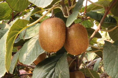 Mature Actinidia chinensis Planch on branch Stock Photo 04
