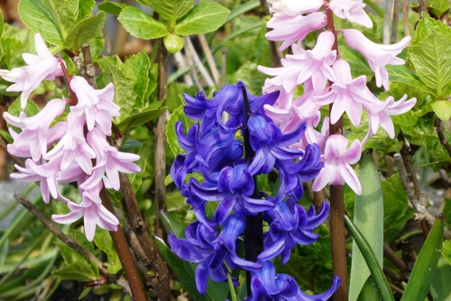 Pink and blue hyacinth flowers Stock Photo