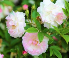 Powder white rose flower Stock Photo