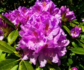 Rhododendron blossom Stock Photo