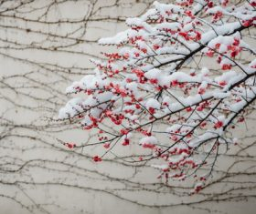 Snow-covered red plum flower Stock Photo