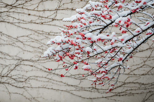Snow covered red plum flower Stock Photo