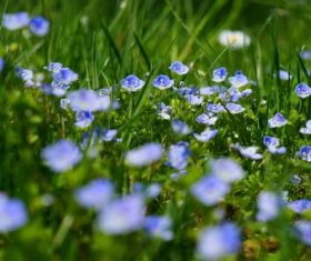 Spring blooming blue flowers Stock Photo