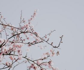 Spring plum blossom Stock Photo