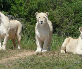 Three white lioness Stock Photo