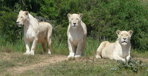 Three white lioness Stock Photo