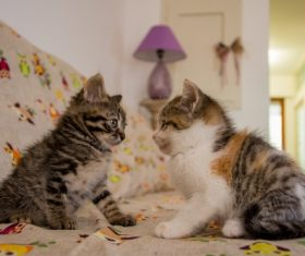Two kittens gaze at each other Stock Photo