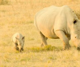 Two rhinoceros babies and female rhinoceros Stock Photo