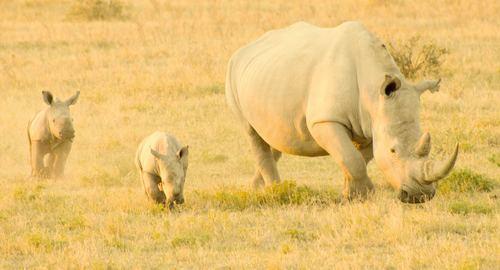 Two rhinoceros babies and female rhinoceros Stock Photo