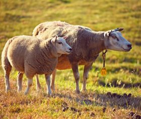Two sheep in the grass Stock Photo