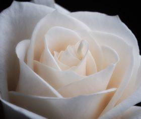 White rose close-up Stock Photo