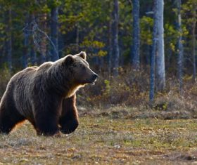 Wild big brown bear Stock Photo