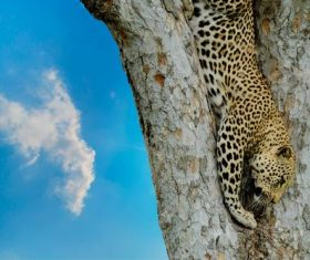 Wild leopard on tree trunk Stock Photo