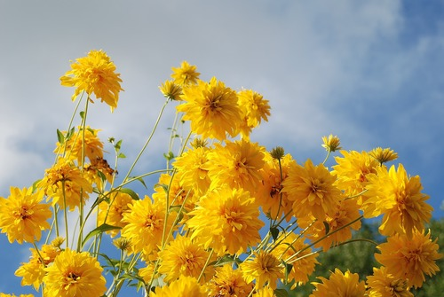Yellow chrysanthemums blooming under the blue sky Stock Photo