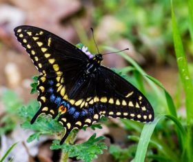 Yellow spotted swallowtail butterfly Stock Photo