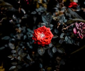 a beautiful red rose Stock Photo