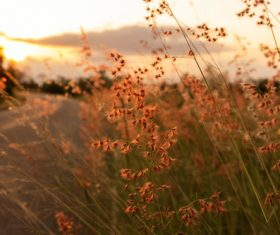 grass flower on sunset background Stock Photo