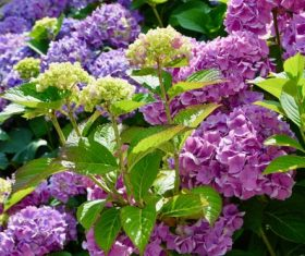 Blooming purple hydrangea Stock Photo