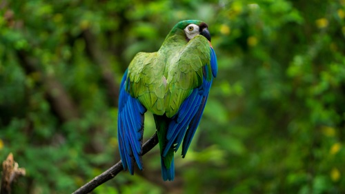 Blue green pet parrot Stock Photo