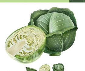 Cabbage illustration vector material
