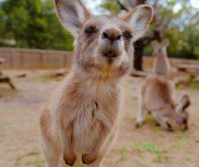 Close-up kangaroo cub Stock Photo