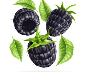 Fresh black berry vector illustration material