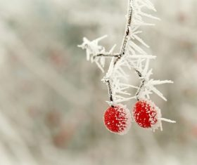 Frost berries Stock Photo 01