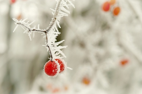 Frost berries Stock Photo 02
