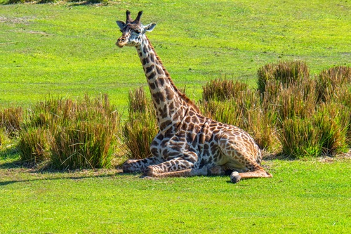 Giraffe resting on the grass Stock Photo