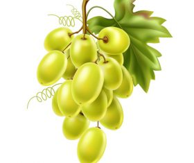 Green grape vector illustration material