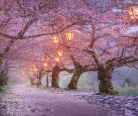 Lanterns on Japanese cherry tree Stock Photo