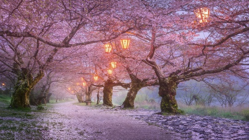 Lanterns on Japanese cherry tree Stock Photo