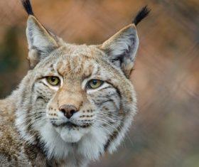 Lynx close-up Stock Photo