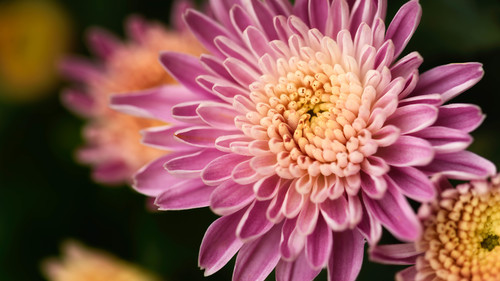 Macro Photography pink petals Stock Photo