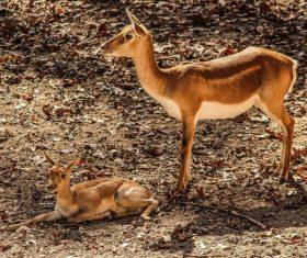 Mother gazelle with little gazelle Stock Photo