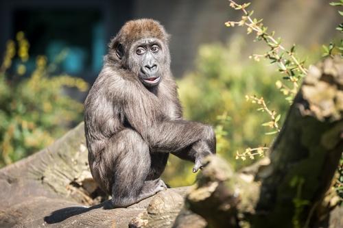 Orangutan cub Stock Photo