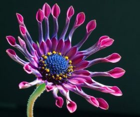 Osteospermum close-up Stock Photo