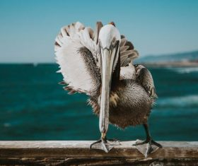Pelican close-up Stock Photo