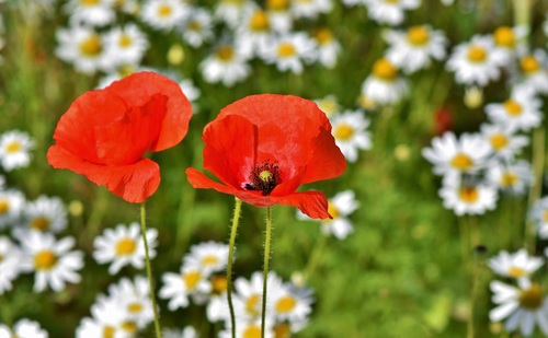 Small daisies with red poppies Stock Photo