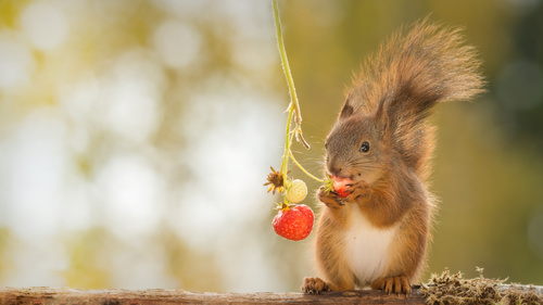 Squirrel eating strawberry Stock Photo