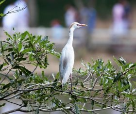 Stock Photo Egret standing on the tree 02