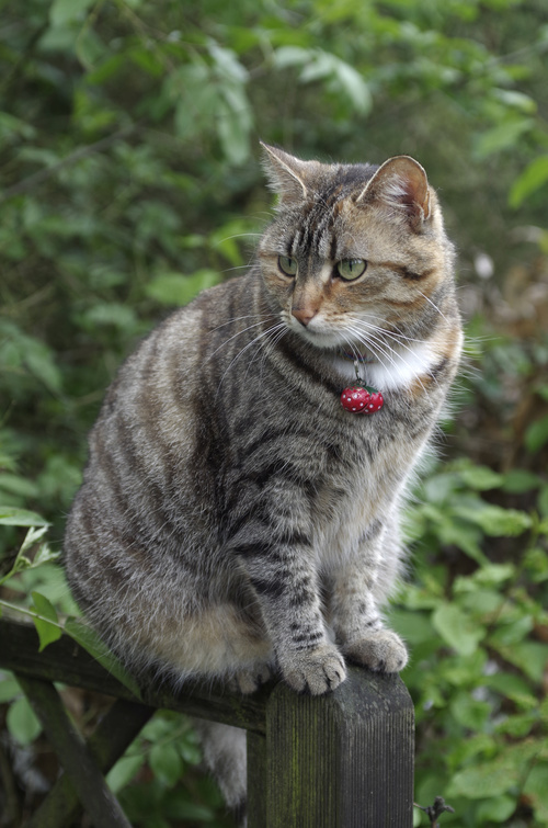 Tabby cat with red bell Stock Photo