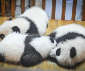 Three little pandas sleeping Stock Photo