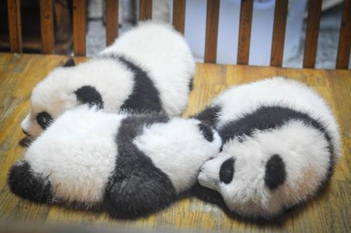 Three little pandas sleeping Stock Photo