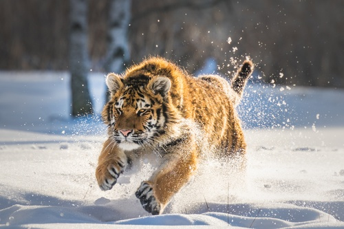 Tiger running in the snow Stock Photo