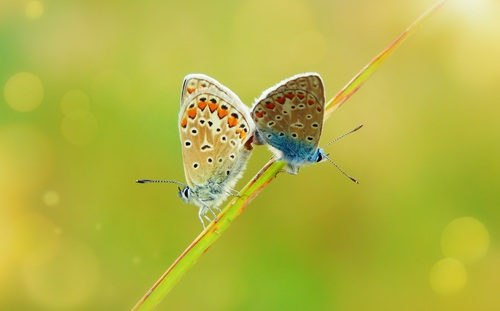 Two butterflies on a grass Stock Photo