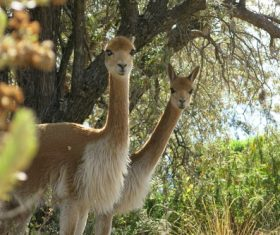 Two curious alpaca Stock Photo